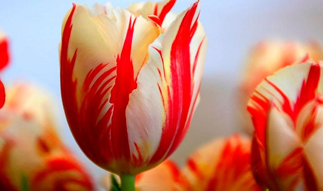 A flor que causou uma crise financeira